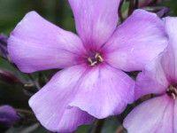 PERENNER & SOMMARBLOMMOR - Med kunskap om ett grundsortiment av perenner och sommarblommor kan du skapa vackra och frodiga växtkompositioner med lång blomningstid.http://trga.se/utbildning/perenner-sommarblommor/