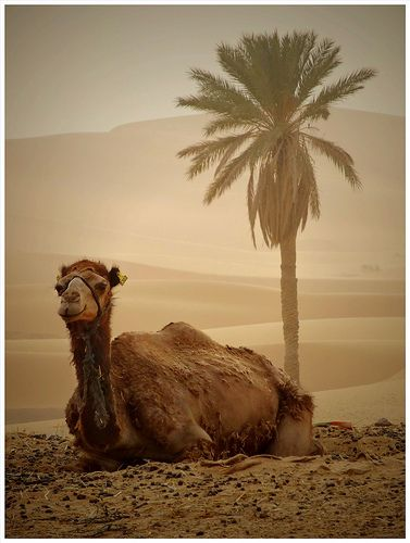 Made for the desert // I like camels because they always look like they're smiling :)
