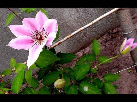 Клематис - Выращивание Клематиса