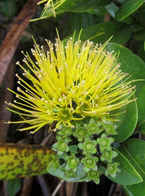 Pohutakawa for native bee garden