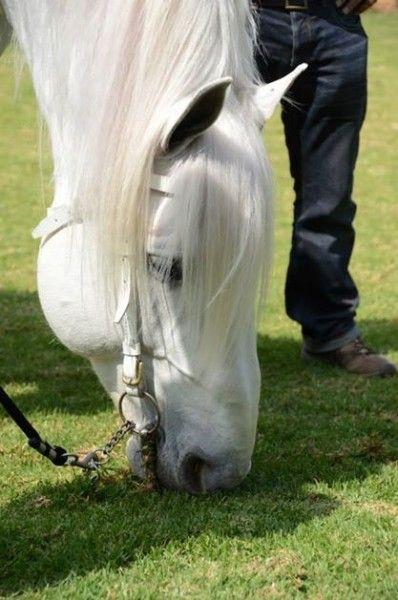 Percheron - world's largest horse breed