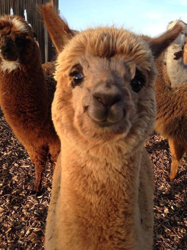 This Cute Smiling Alpaca