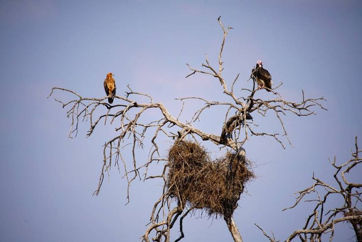 Big brothers watching you #birds #birdwatching #vulture #vautour #eagle #wildlifeafrica