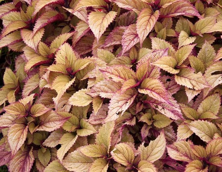 Proven Winners' Colorblaze® Sedona: Garden Envy, Garden Party, Outdoor, Container Plants, Michigan Annuals, Annual Plants, Caladiums Plants, Garden Plants