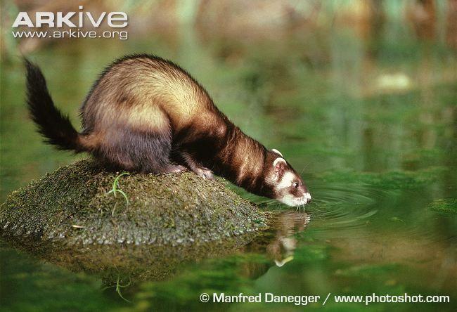 European polecat drinking from lake