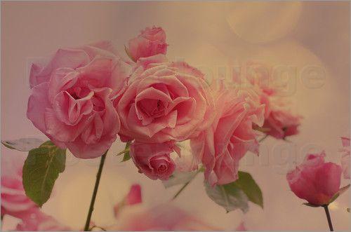 Rosa Rosen Romantik Bilder: Poster von Tanja Riedel bei Posterlounge.de