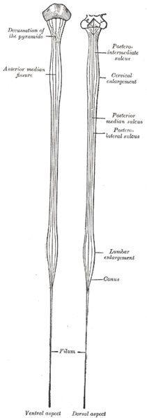 """""""""""<脊髄>(せきずい/spinal cord)/脊椎動物のもつ神経幹。脊椎の脊髄腔の中を通り、全身に枝を出す。脳と脊髄を合わせて中枢神経系と称する。/<感覚系伝導路>/<運動系伝導路>/<脊髄小脳路>"""" 脊髄 - Wikipedia https://t.co/Q3oAxCt8De"""""""