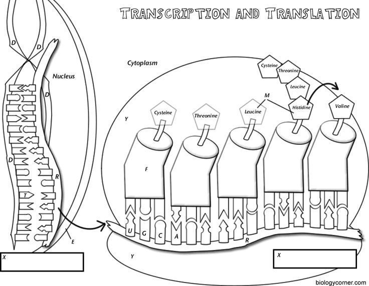 Coloring worksheet that explains transcription and translation.