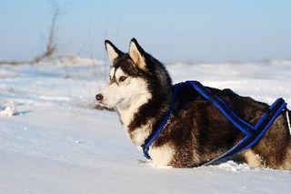 how to train a sled dog
