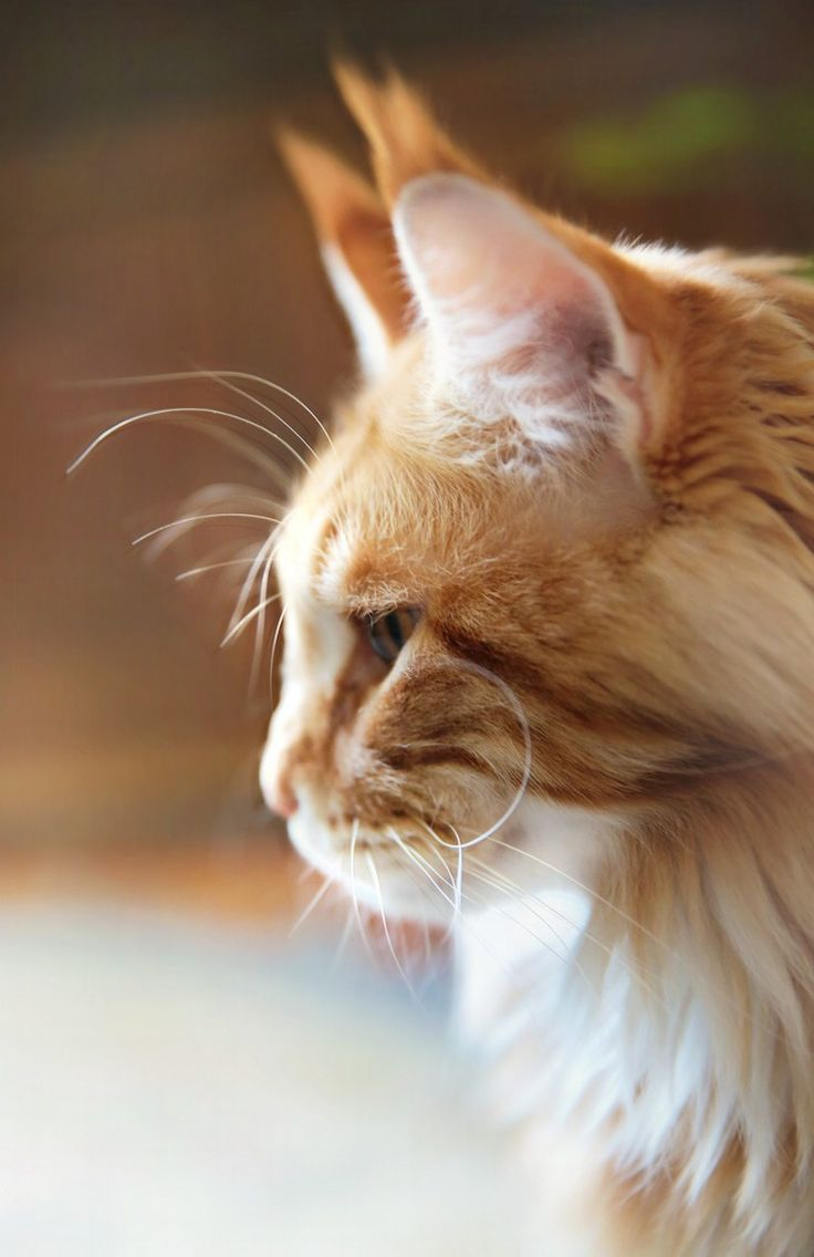Best 25 Orange maine coon ideas on Pinterest