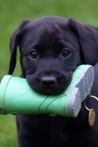 black lab puppy.