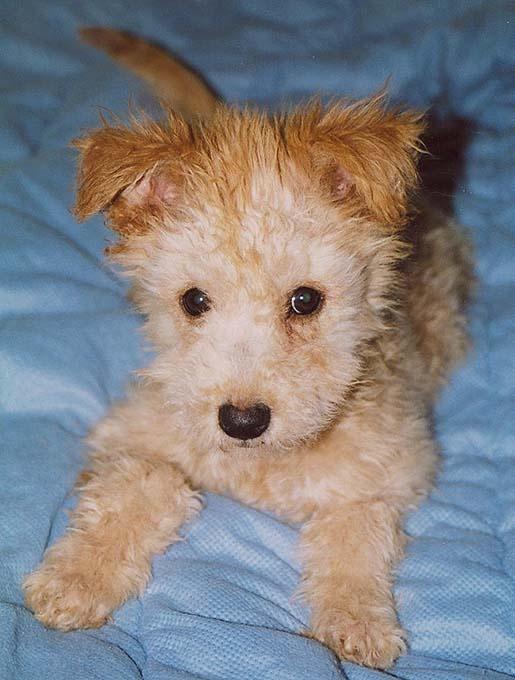 Hungary. Pumi fawn (fako). Puppy. | FCI G1 | Pinterest ...