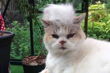 A Casual Reminder That There's An Instagram Account Of Cats With Trump Toupees