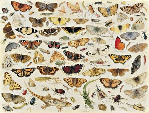 Jan van Kessel — Butterflies, May 25, 2017