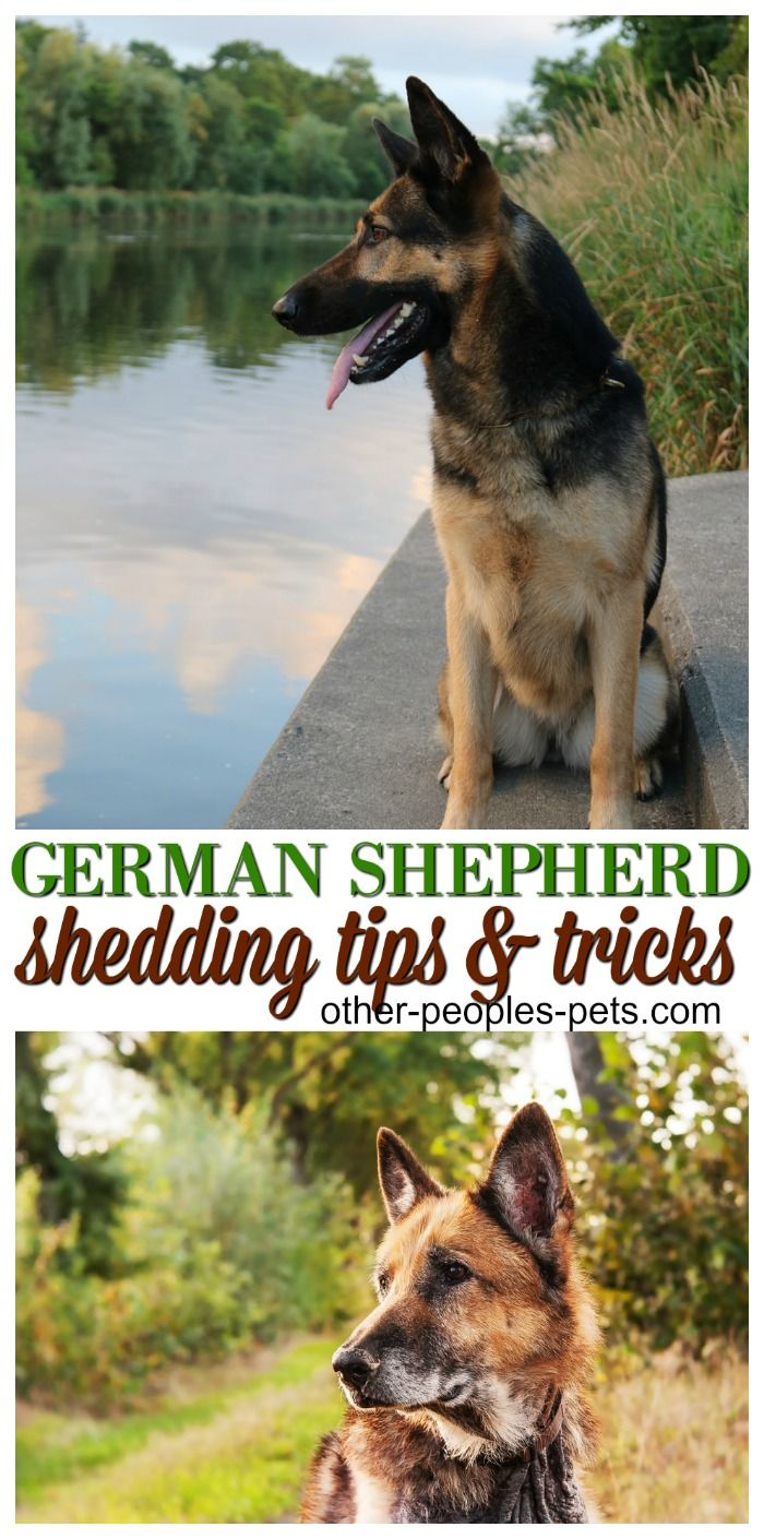 How Much Do German Shepherds Shed German Shepherd Shedding