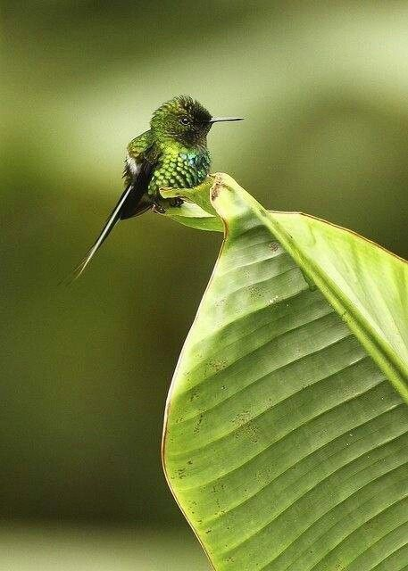Smallest bird ever. Bumbel Hummingbird