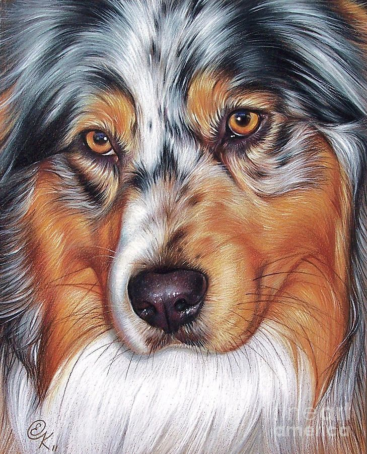 Elena Kolotusha    COLORED PENCIL GOUACHE   Australian Shepherd