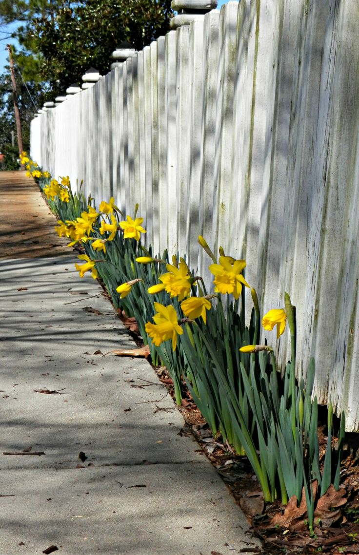 Daffodils along our front fence  Garden Flowers