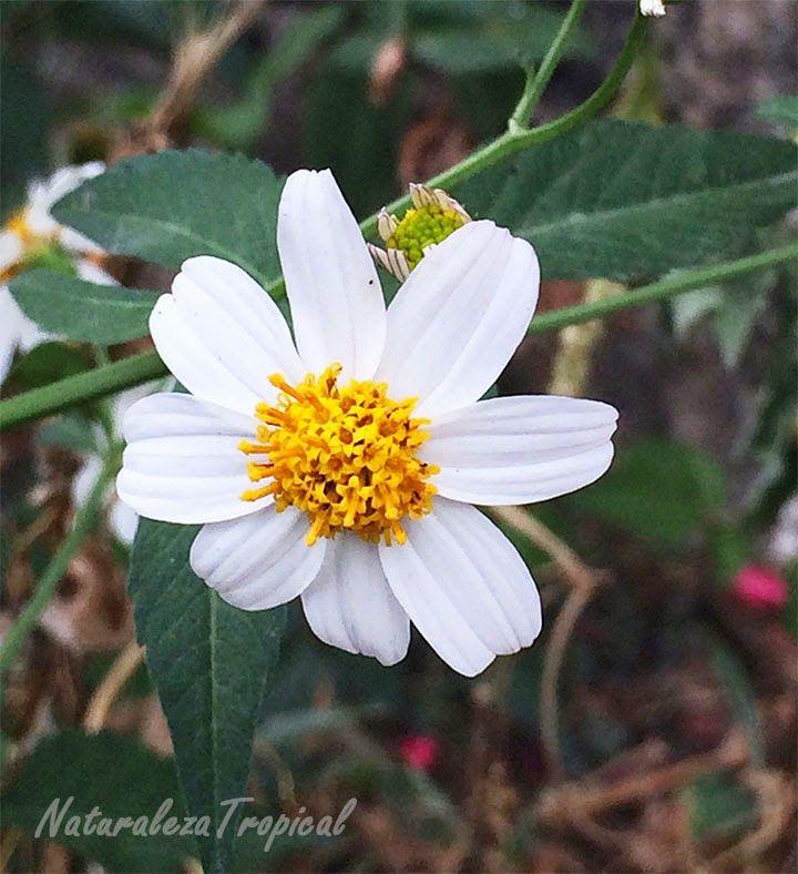 Flor del Romerillo, nombre popular de Bidens alba