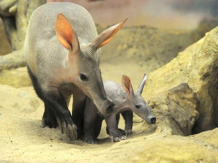 ... Erdferkel-Mutter Ermine und der Erdferkel-Nachwuchs Lotte stehen im Frankfurter Zoo in ihrer Schauanlage. Die Erdferkeleltern, Ernst und Ermine, haben erstmals zusammen ein Baby. Die ...