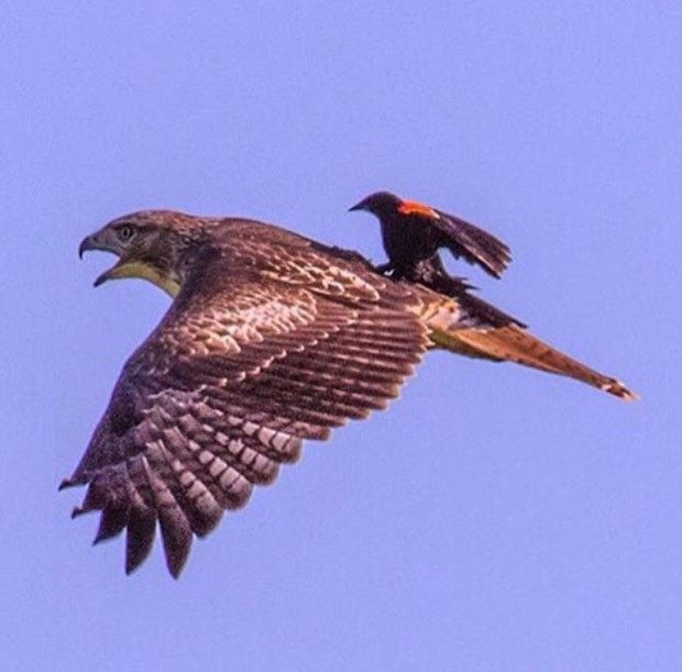 Agelaius phoeniceus / pássaro-preto-da-asa-vermelha e Buteo jamaicensis / búteo-de-cauda-vermelha. Pássaro foi flagrado pegando 'carona' nas costas de ave de rapina.(Reprodução/Instagram/U.S. Department of the Interior)