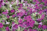http://gardening.about.com/od/plantprofiles/a/Petunias.htm