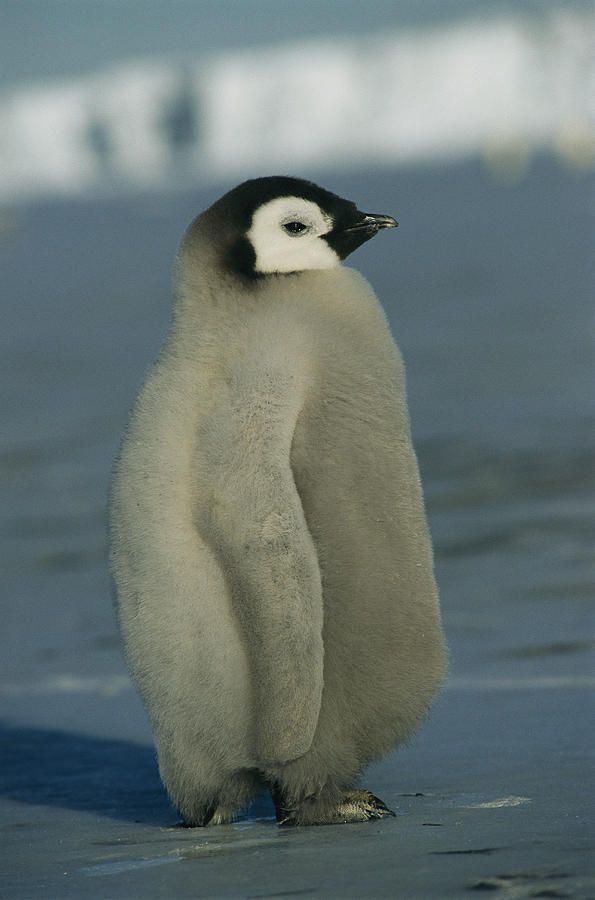An emperor penguin chick sports a fluffy coat of downy ...