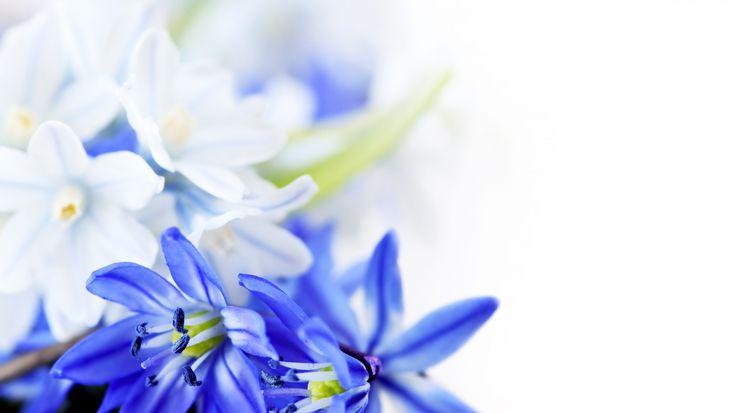 Скачать обои цветы, синие цветы, 8 марта, листки, раздел цветы в разрешении 1366x768