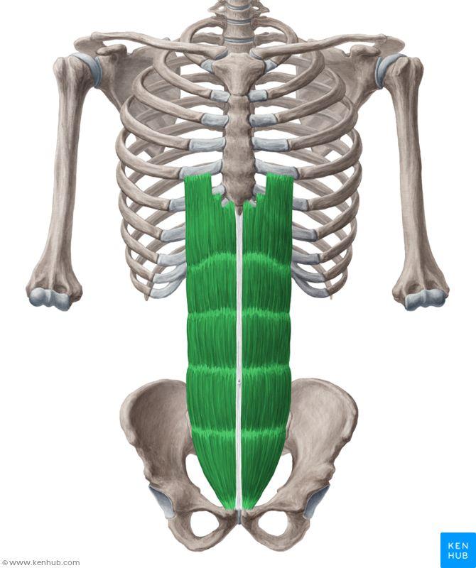 Rectus abdominis: pubic crest & pubic symphysis (origin) 5,6,7 costal…