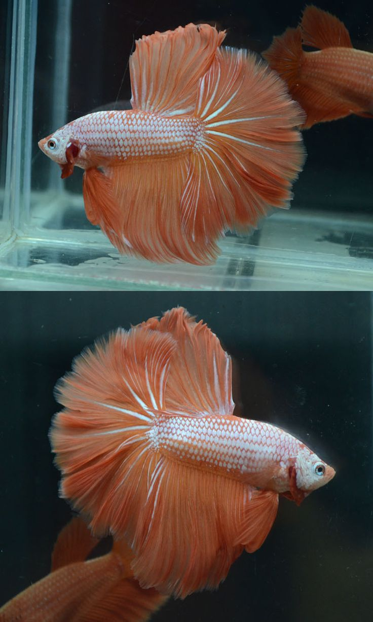 731 best images about peces ornamentales on pinterest for Beta fish water