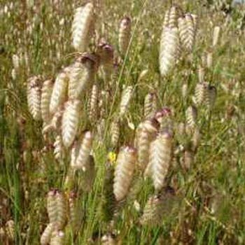49 best ornamental grasses for zone 4 images on pinterest quaking grass briza maxima easy to grow perennial that forms dense clumps and bears graceful nodding oval shaped seed heads zones workwithnaturefo
