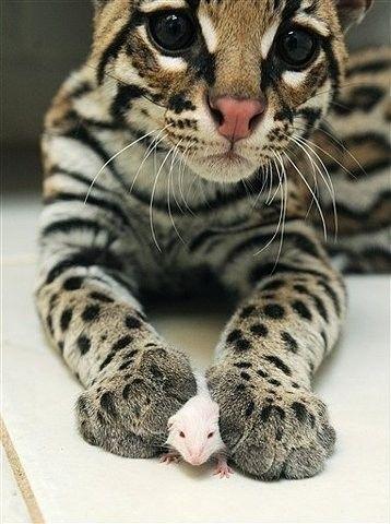 baby ocelot caçando