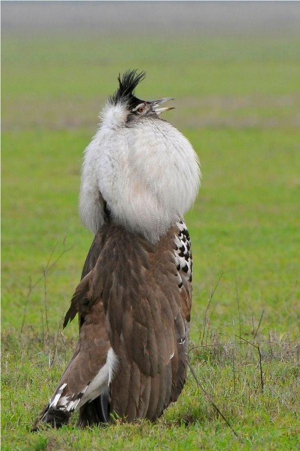 Kori buzzard