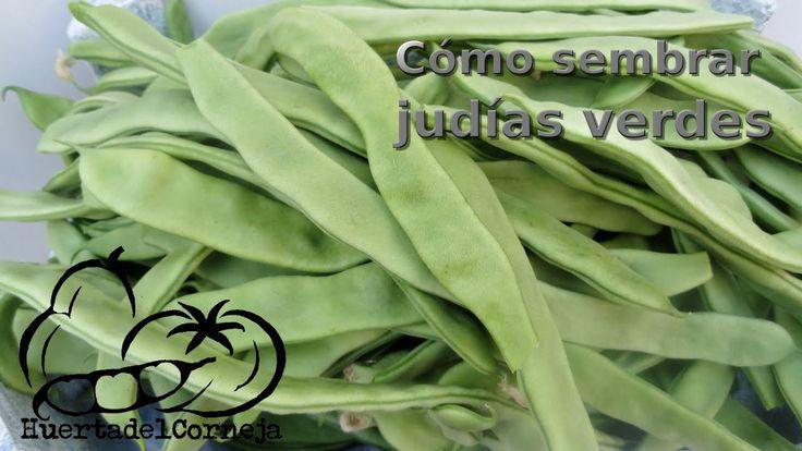 Las 25 mejores ideas sobre cultivo de jud as verdes en - Cultivar judias verdes ...
