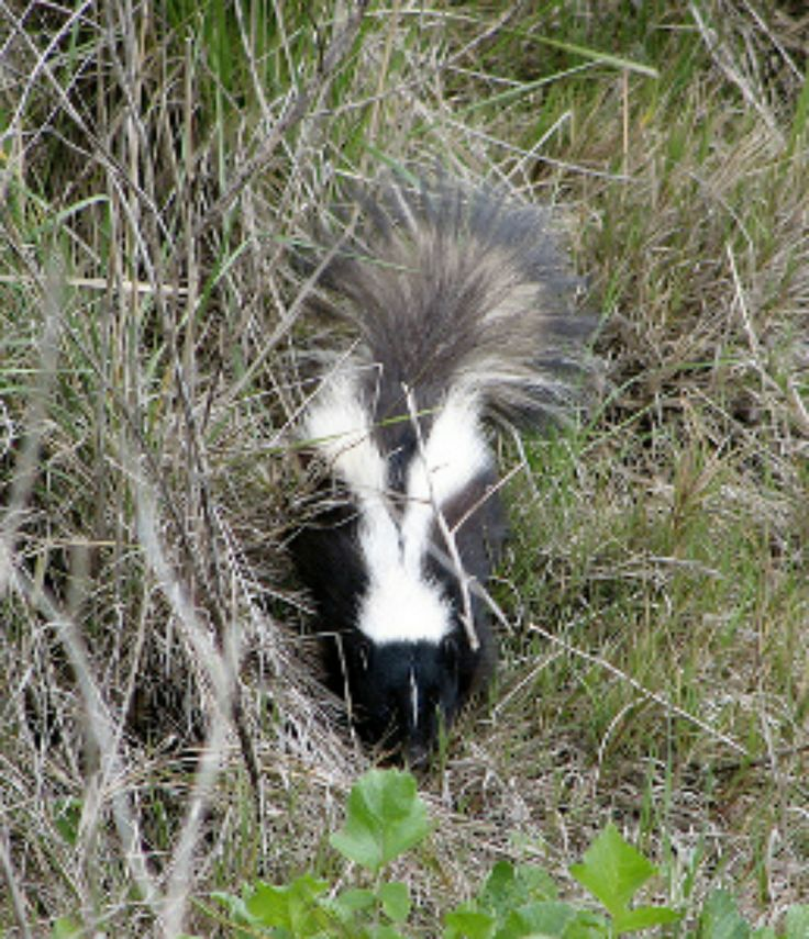 It stinks when a homeowner has to encounter a skunk