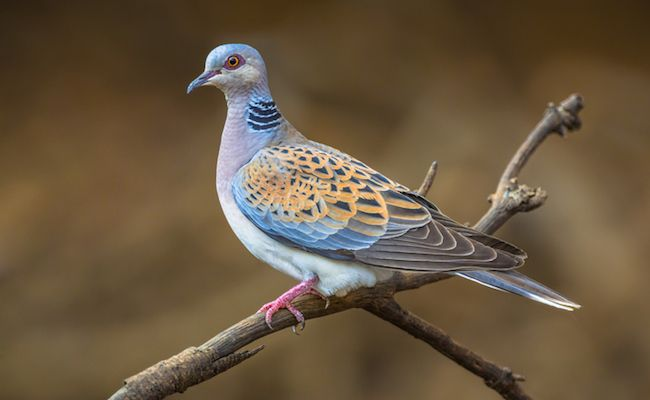 Could We Soon Be Left With Just Two Turtle Doves?