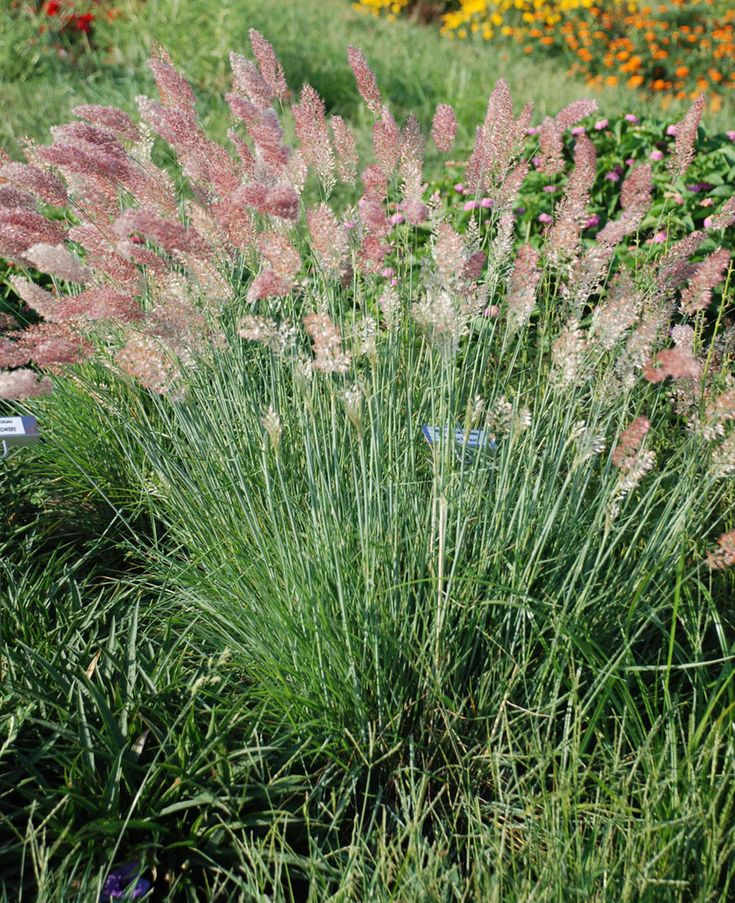 296 best images about ornamental grasses on pinterest for Perennial grasses red