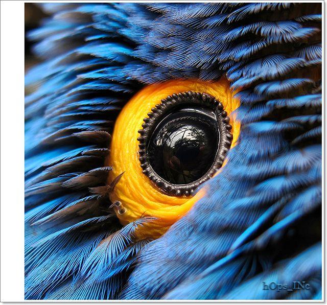 Hyacinth Macaw Eye