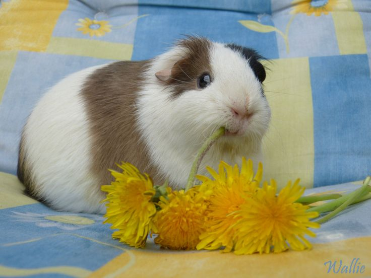 I myself, are a great lover of Dandelion, especially the flowers!