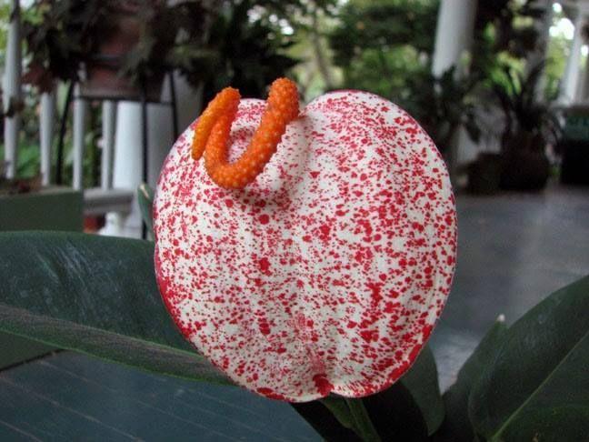Garden no Pinterest  Passiflora, Hibisco e Corações sangrentos