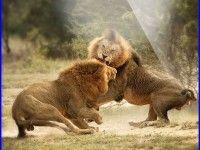 Lion Fight Wallpaper 842 HD Wallpapers