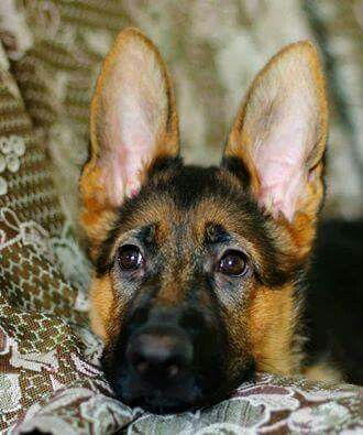 - what big ears you have?