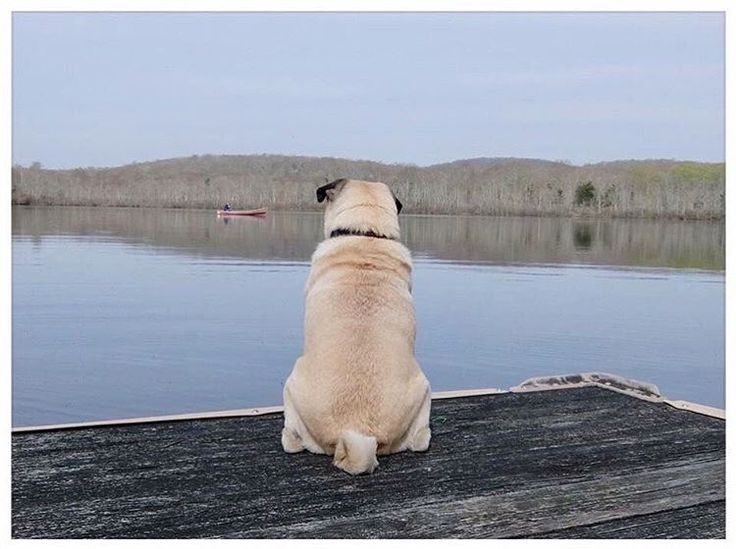 @momopug2000 living the peaceful life. Want to be featured on our Instagram? Tag your photos with #thepugdiary for your chance to be featured.