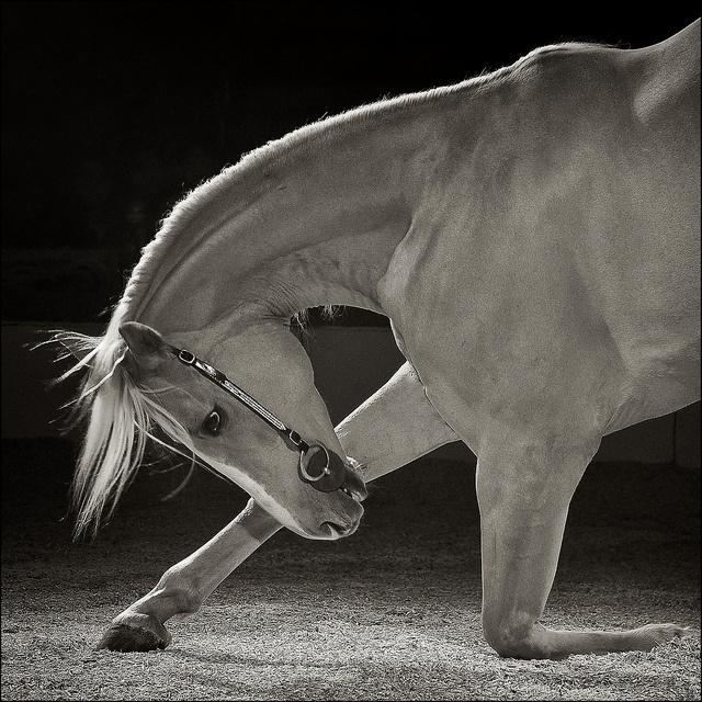 Circus Horse | Majestic Horses & Ponies | Pinterest