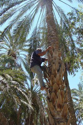 fotos&travels : Zapylanie palmy