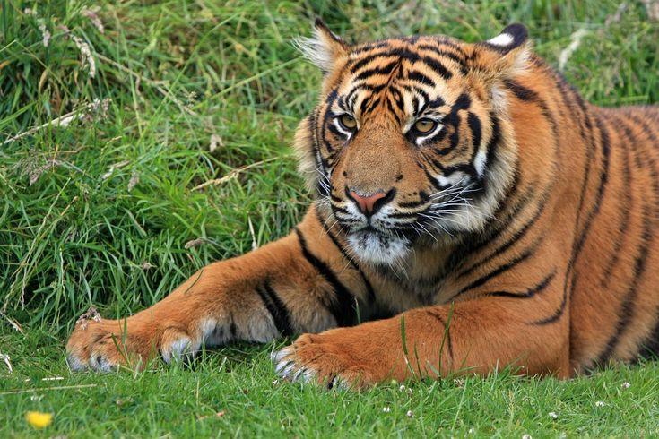 Sumatran Tiger Conservation Efforts