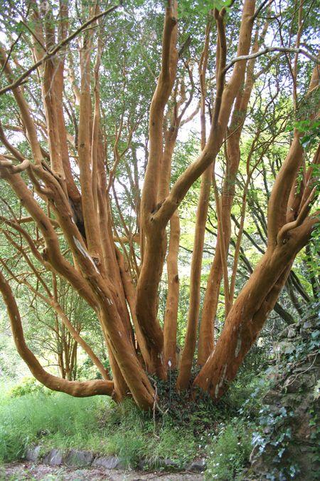 Luma apiculata (syn. Myrtus luma) Hardy form