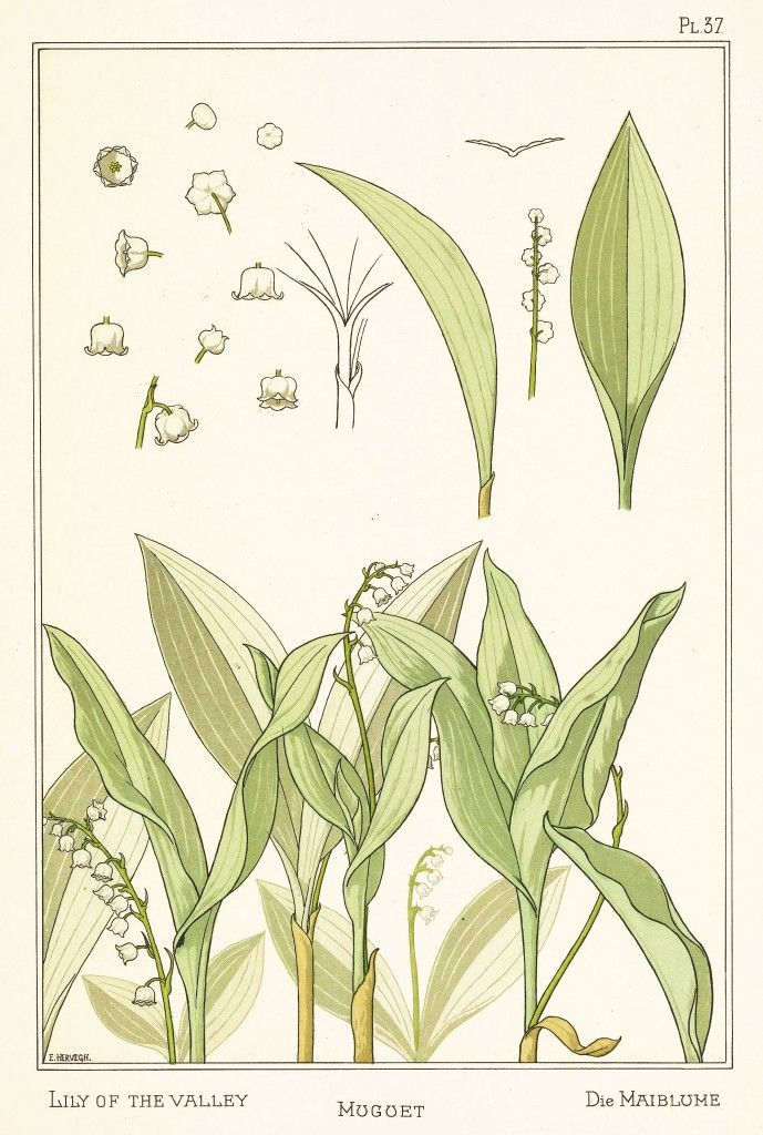 """Lily Of The Valley"" - Botanical illustration by E. Hervegh from ""La Plante et Ses Applications Ornamentales"", by Eugène Grasset, published by Eugène Lévy (1896)"