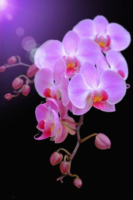 mistymorningme:© ピンクの胡蝶蘭の写真(画像) 写真ID:4278240- 写真共有サイト
