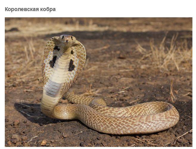 фото кобры Самые опасные змеи в мире. . ФОТО Фото - Кадры ...